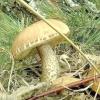 Види підберезників і красноголовців: гриби Обабко і їх фото