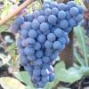 Виноград кишмиш унікальний