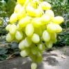 Виноград конвалія
