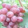 Виноград модерн