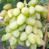 Виноград мускат річний