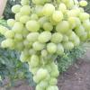 Виноград надійний