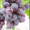 Виноград Нінель