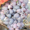 Виноград оріон