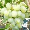 Виноград Подарунок Запоріжжя