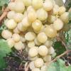 Виноград рожева імла
