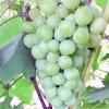 Виноград РУСВІТ