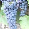 Виноград сапераві північний