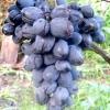Виноград сфінкс