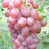 Виноград симпатія