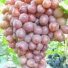 Виноград бузковий туман