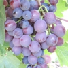 Виноград надранній червоний мускат