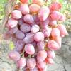 Виноград тимур рожевий