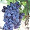 Виноград томайскій