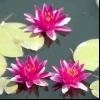 Водні рослини для штучного ставка і їх фото