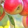 Шкідники яблуні або як врятувати свій сад?