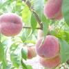 Усе про персиках