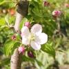 Всі про посадку плодових дерев. вибираємо саджанець. вибираємо час посадки.