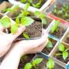 Солодкий перець: вирощування розсади до висадки в город