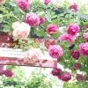 Вибираємо плетистую троянду