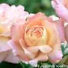 Вибираємо сорт: двоколірні троянди