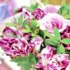 """Вибираємо сорт: """"смугасті"""" троянди"""