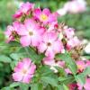 Вибираємо сорт: троянди іноземного походження