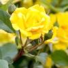 Вибираємо сорт троянди: на що звернути увагу