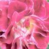 Вибираємо сорт: троянди з гофрованими пелюстками