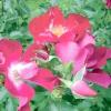 Вибираємо сорт: троянди з простими квітками