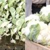 Вирощуємо цвітну капусту: маленькі хитрощі