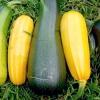 Вирощуємо кабачок - найцінніший дієтичний продукт!