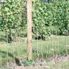 Вирощуємо малину: грунт, полив, підживлення