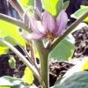 Вирощування баклажан
