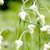 Вирощування часнику - відкриваємо секрети відмінного врожаю