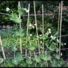 Вирощування гороху