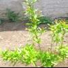 Вирощування граната у відкритому грунті: як вирощувати гранат в саду