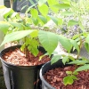 Вирощування волоського горіха в домашніх умовах