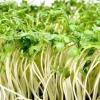 Вирощування крес салату і його властивості