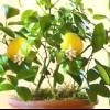 Вирощування кумквата в домашніх умовах