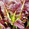 Вирощування листової гірчиці