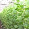 Вирощування огірків у плівкових теплицях