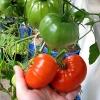 Вирощування помідорів у відрах