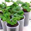 Вирощування розсади полуниці з насіння