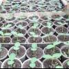 Вирощування розсади огірків для теплиці