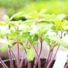 Вирощування розсади помідор