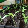 Вирощування розсади помідорів, пікіровка, підготовка до пересадки