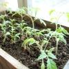 Вирощування розсади томатів