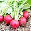 Вирощування редису або як отримати 5 кілограмів з одного квадратного метра