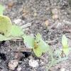 Вирощування редису в захищеному грунті - секрети отримання високого врожаю